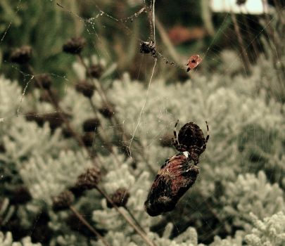 spider eating butterfly no.2 by jakerrocks