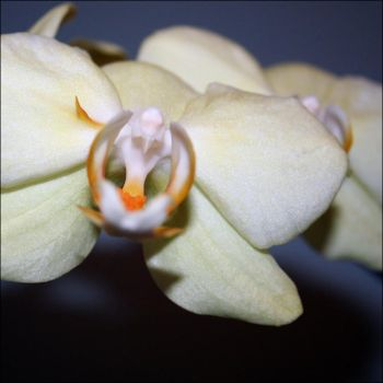 orchid - by anocas
