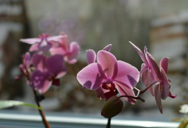Orchid by frolka