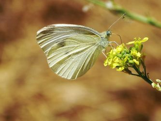 Cabbage White Butterfly by DaisyDinkle