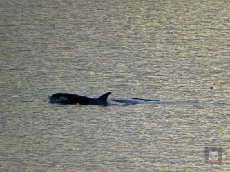 Killer Whale Going By by wolfwings1