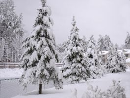 Snow Covered Pine trees by EsBest