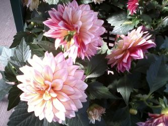 Dahlias by JeanHQ