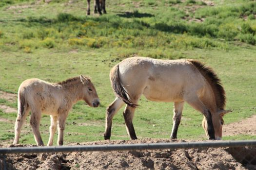 Przewalski's Horse Mother and Foal by DragomirEmil