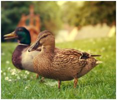 Duck ! by Art-ography