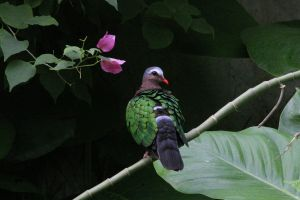 Emerald Dove by Tinap