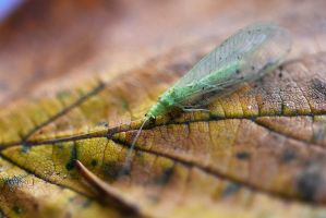 3475 Bug - Lacewing Fly by RealMantis