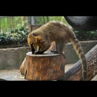 Animals 98  Ring-tailed Coati by cinnabarr