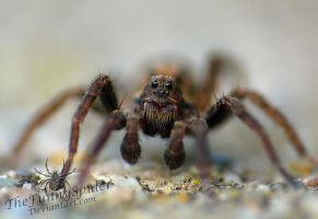 Trochosa ruricola - young male by TheFunnySpider