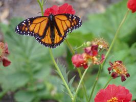 .stock: monarch butterfly. by guavon-stock