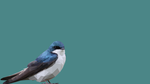 Low Poly Blue Bird by Photosoups