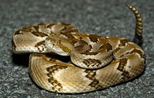 Crotalus horridus by michael-ray