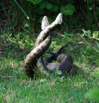 Mating Water Moccasins by nightowl