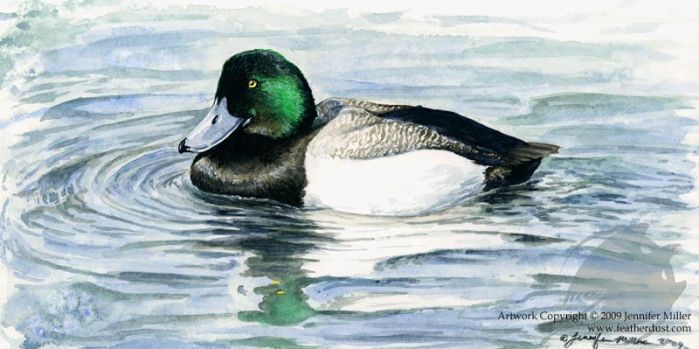 Greater Scaup Study by Nambroth