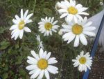 bunch of daisies by BlueIvyViolet
