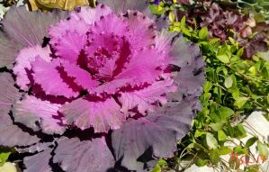 Ornamental cabbage by thsyntheticawakening