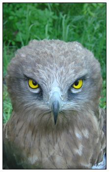 Portrait of a hawk by tybcorp