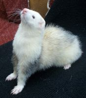 Ferret 2 Pip by Penny-Stock
