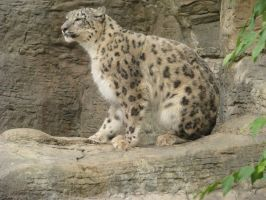 Snow Leopard Stock by Tala-Stock