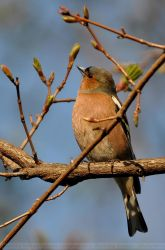 Chaffinch (001) by Sikaris
