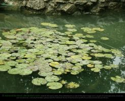 Lily Pads by Esmeralda-stock