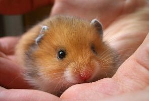 Tiny hamster by Dimmok