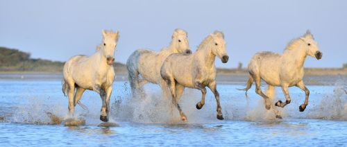 Herd of White Camargue Horses 8 by bouzid27