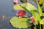 Pink Water Lilly Pond 01 by Thy-Darkest-Hour
