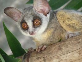 Georgie the bushbaby by Rominique