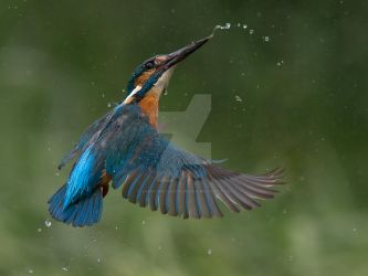 A flash of blue by Jamie-MacArthur