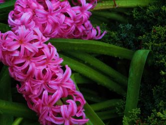 Pink Hyacinths by xXForestMist