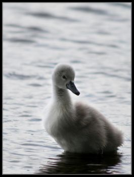 Cygnet 2 by davidbridges