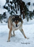 The last Stand of a Wolf by PictureByPali
