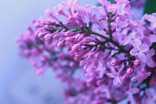 Lilac by midnight-heaven12