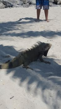 Iguana play in the sand? by Mickeymcp