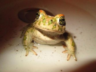 Male Toad 6 by FuriarossaAndMimma