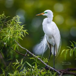 .:Great Egret:. by RHCheng
