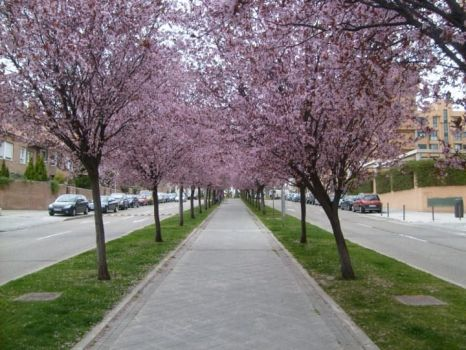 Trees of Cherry Blossom by AleeraSkywalker