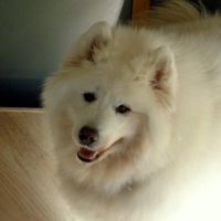 Benji the Samoyed by Mittelfranke