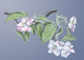 Apple Blossoms by Starsong-Studio