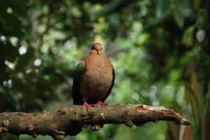 Perched Pigeon by BilbyPDalgyte