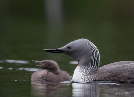 Red-throated divers by ErikEK