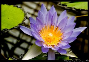 Water Lily by aanndrew