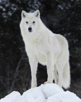 Arctic wolf by SamColwell