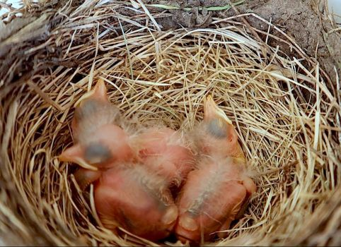 Newborn Robin Babies by AmaniWarrington