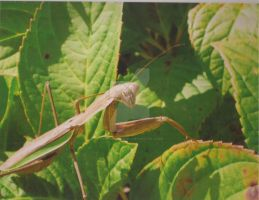 Greenish Brown Praying Mantis by KonekoKaburagi