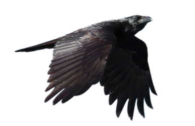 STOCK Common Raven Flying (with Alpha Layer) by netzephyr