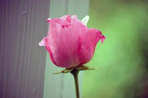 Pink Rose II by tonnyfroyen