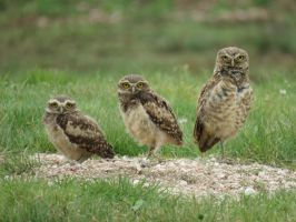Burrowing Owl Family by FavorsOwed