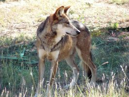 WW Oct13: Mexican Wolf 2 by FamilyCanidae